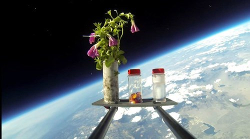 Hitchhiker Fans Send Petunias to Space, Because Why Not?