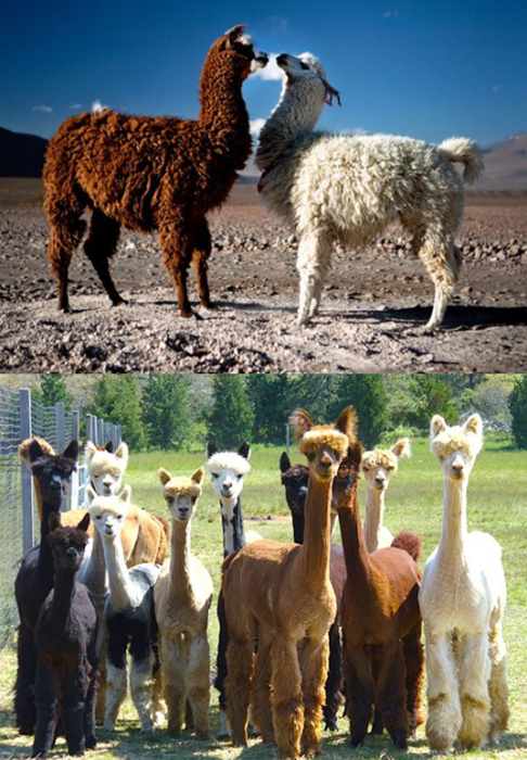 Squee Spree: Llamas vs. Alpacas
