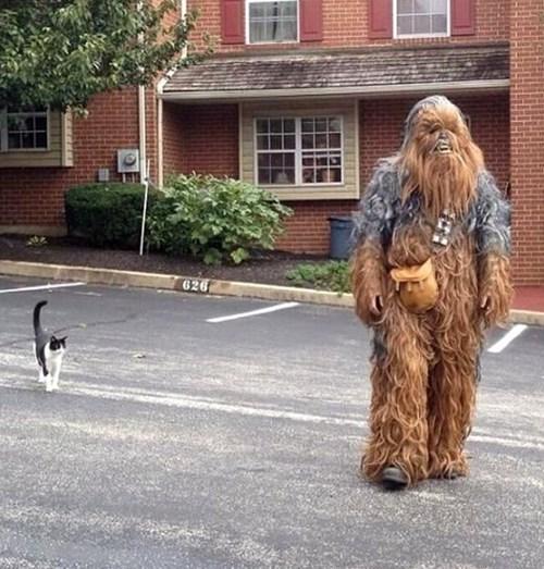 cat,star wars,chewbacca