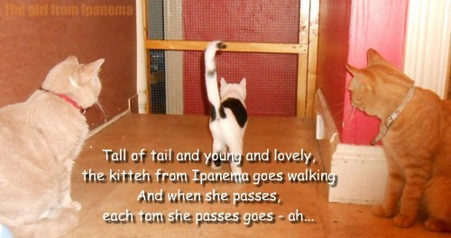 Tall of tail and young and lovely,  the kitteh from Ipanema goes walking  And when she passes,  each tom she passes goes - ah...