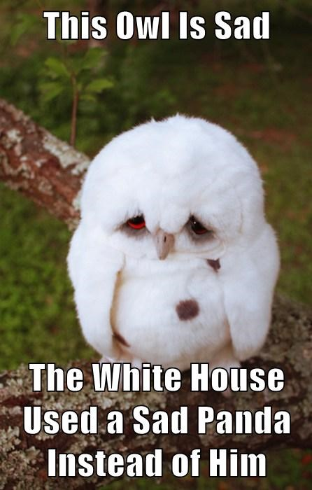 This Owl Is Sad  The White House Used a Sad Panda Instead of Him