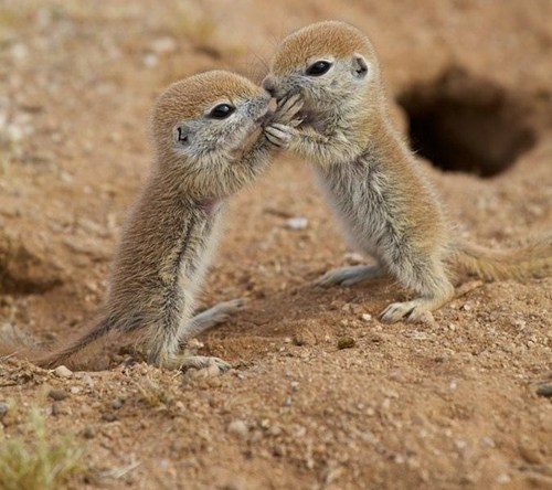 Baby Round Tail Squirrels Coming in for a Kiss