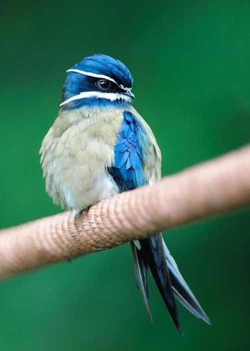 Whiskered Treeswift Has the Cutest Whiskers Ever!
