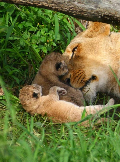 Lion Cubs with Their Mama