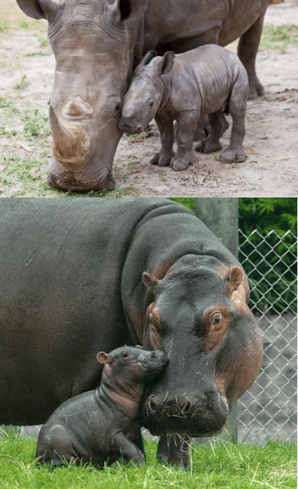 polls,baby rhino,squee spree,baby hippo