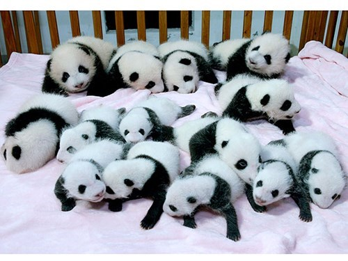 A Pack of Baby Pandas in China Venture Outside for the First Time