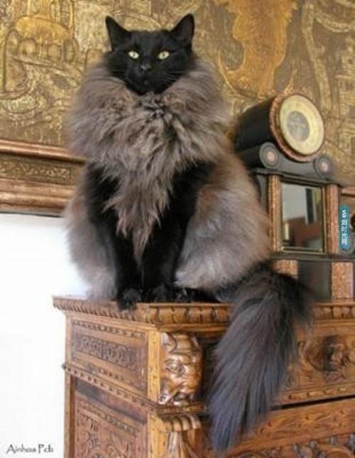 Cat with a Fancy Vest or Unique Fur Coat?