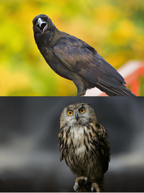 Scary Spree: Crow vs. Owl
