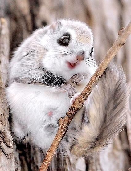 Japanese Dwarf Flying Squirrel is the Ultimate Squee!