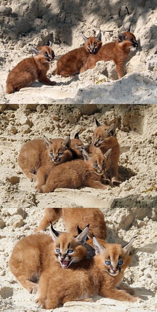 Caracal Babies at the Berlin Zoo