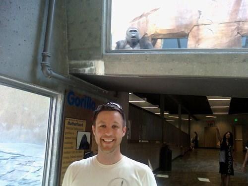 photobomb,zoo,gorilla