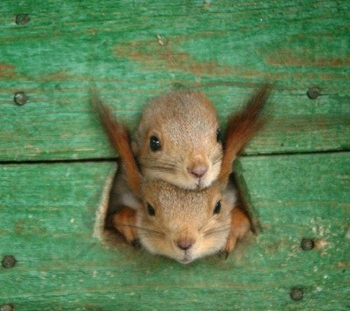 cute,squirrels,squee,two