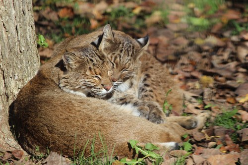 Bobcats Loving Each Other