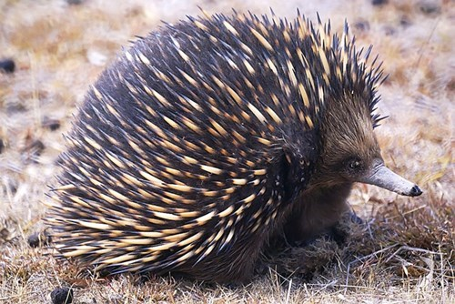 This Week's Squee Spree Winner: The Echidna