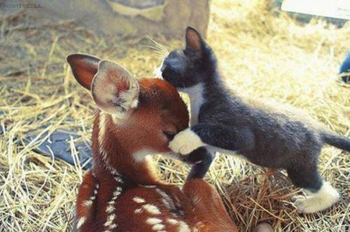 kitten,fawns,unlikely friends,cute