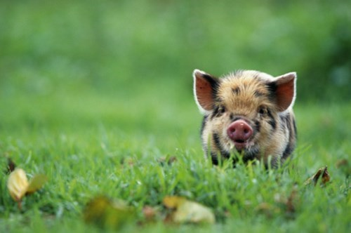 content,cute,grass,piglet,happy