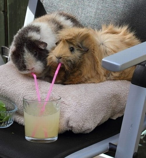 share,lemonade,guinea pigs,cute