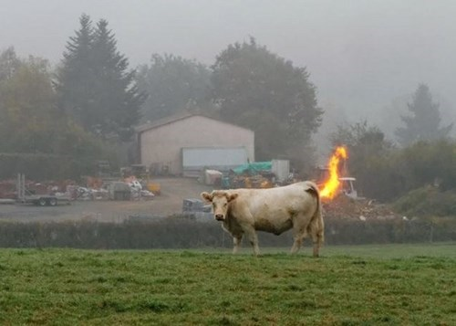 cows,fire,photobomb,perfectly timed