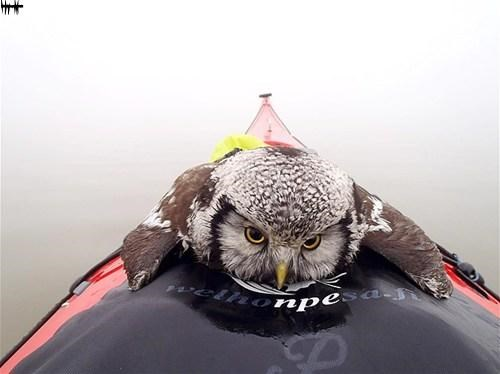 Near Drowned Owl Rescued by Kayaker, Finland