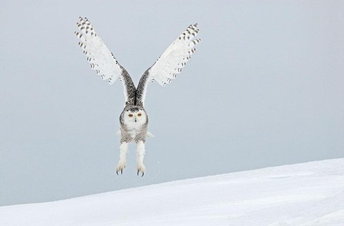 snow,wings,hanging,cute,owls,talons