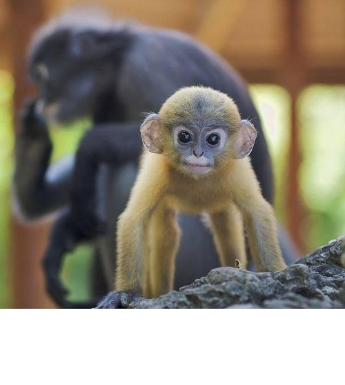 Spectacled Langur is Quite a Spectacle