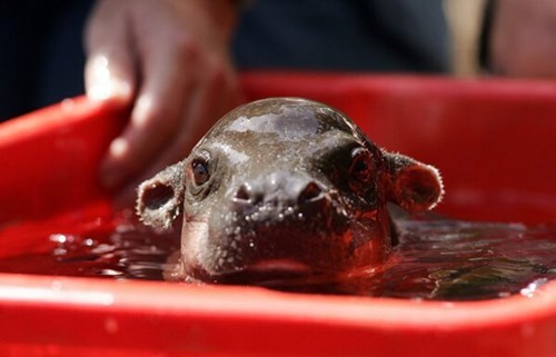 That is One Cute Baby Hippo!