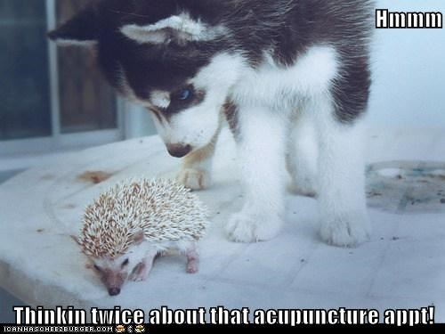 acupuncture,dogs,hedgehogs