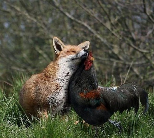 cute,foxes,friends,chickens,roosters,squee,unlikely