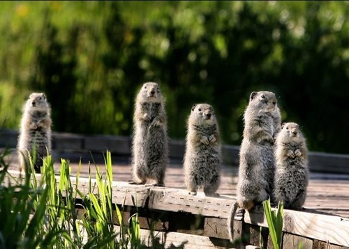 cute,family,rodents,marmots