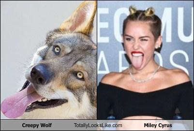 Creepy Wolf Totally Looks Like Miley Cyrus