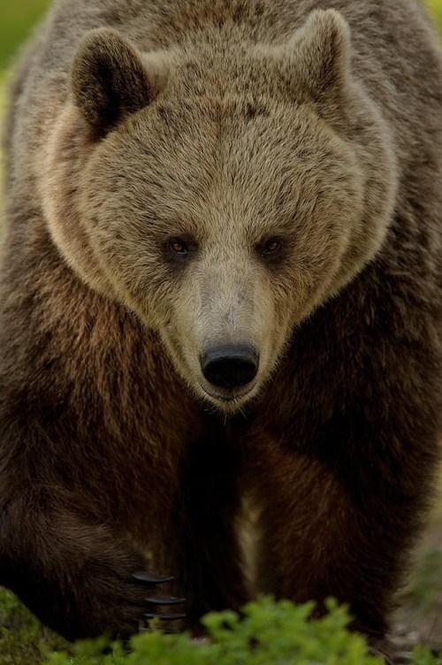 bears,beauty,powerful,squee