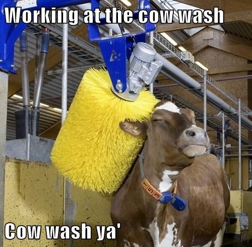 Working at the cow wash  Cow wash ya'