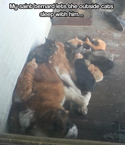Cats,dogs,pile,kitten,outside,saint bernards