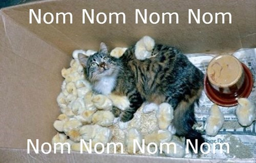 Cats,chicken nuggets,chicks,nom