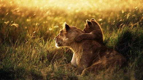 cubs,hug,lions,parents,sunset,sunrise