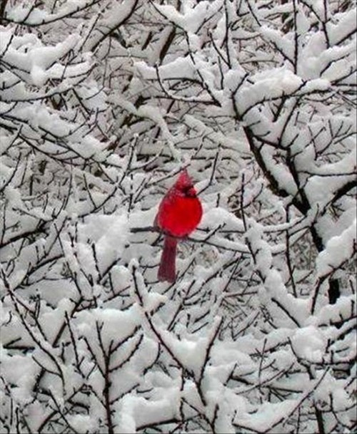 A Lone Cardinal on a Snowy Day