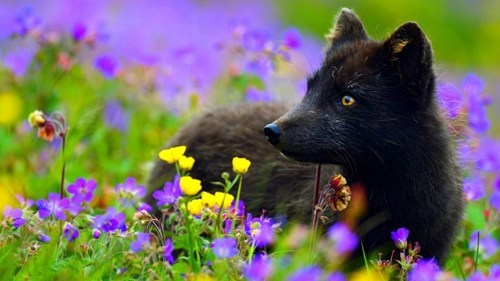 A Little Black Fox Surrounded By Violet