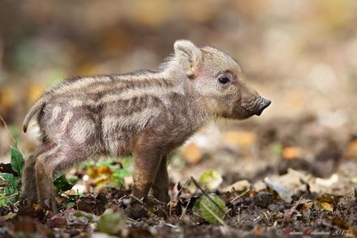 This Baby Boar Will Definitely not Bore You!