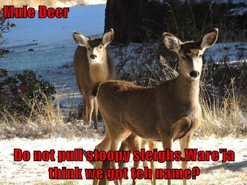 Mule Deer   Do not pull stoopy sleighs.Ware'ja think we got teh name?