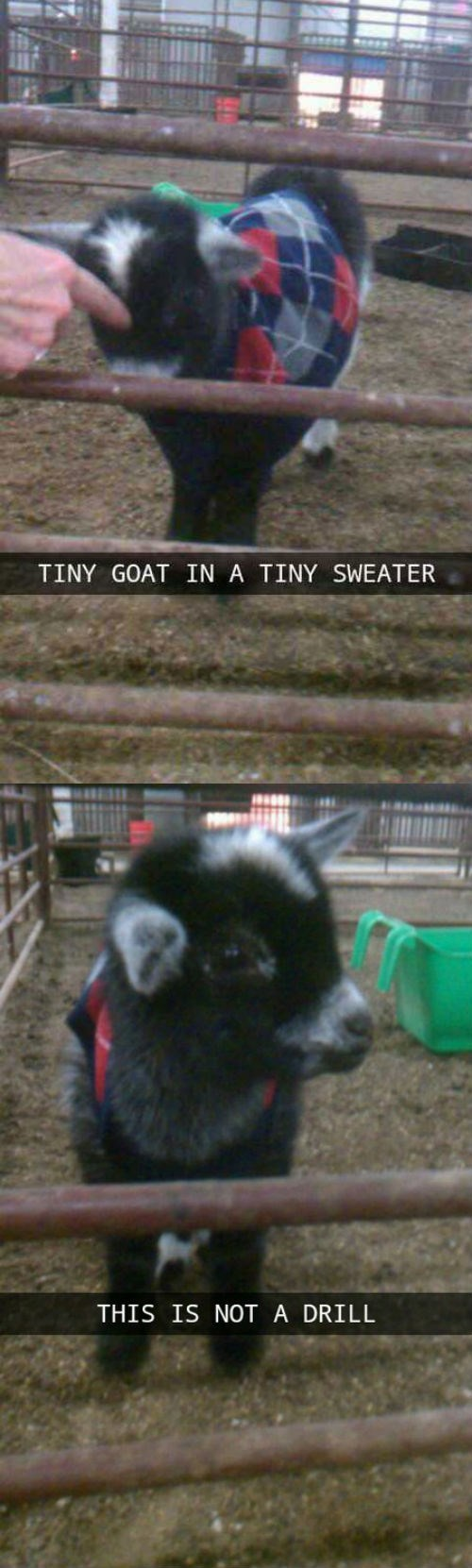 goat,baby goat,sweater,animals,g rated,poorly dressed