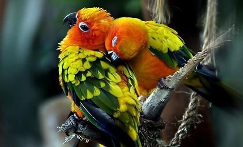 birds,KISS,love,peck,parrots