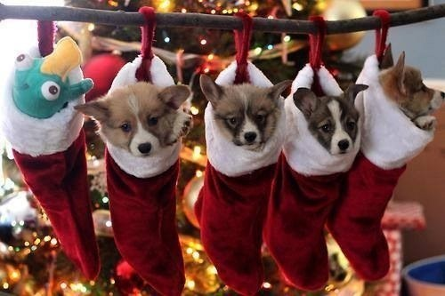 christmas pets,christmas,daww,dogs,pets,christmas animals,Cats