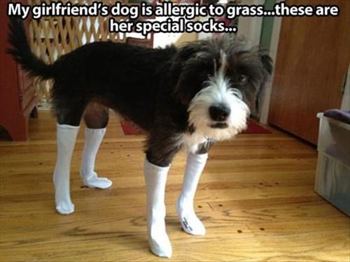 allergic,blush,dogs,grass,embarrassed,shame,socks