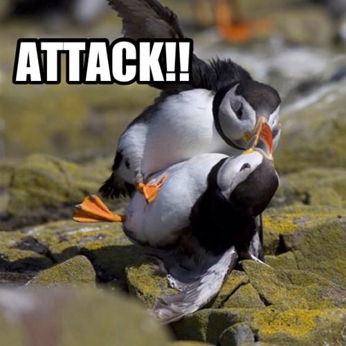 attack,birds,fight,funny,puffin