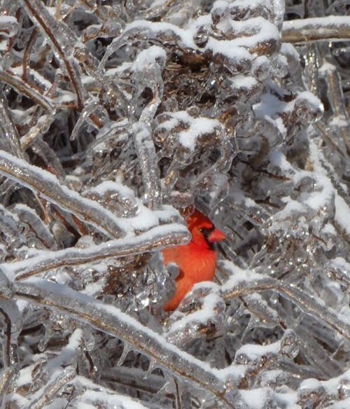 birds,cardinals,ice,winter