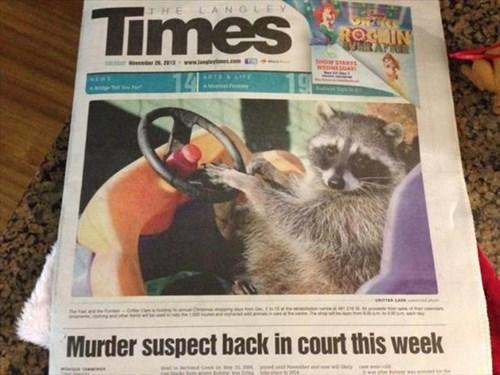 news,raccoons,bandit,funny
