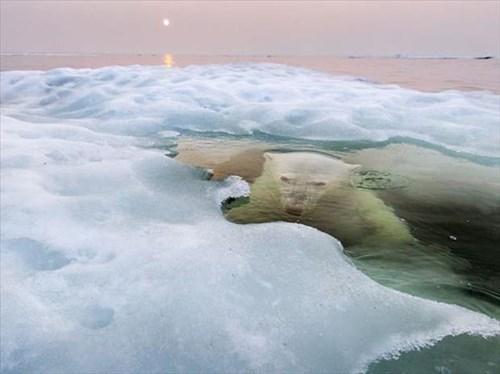 snow,polar bears,cute,ice,hide,funny