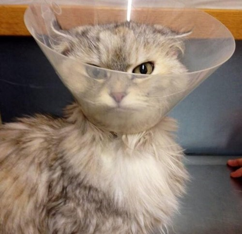 revenge,cone of shame,Cats,funny