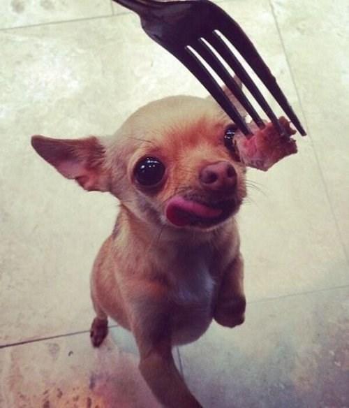 steak,dogs,cute,noms,chihuahua