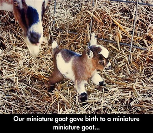 Babies,kids,goats,miniature,funny